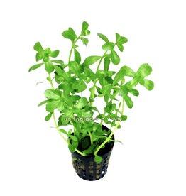 Bubba's Plants Bacopa monieri