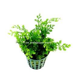 Bubba's Plants Bolbitis heteroclita difformis
