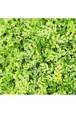 "Bubba's Plants Bolbitus heteroclita ""difformis"""