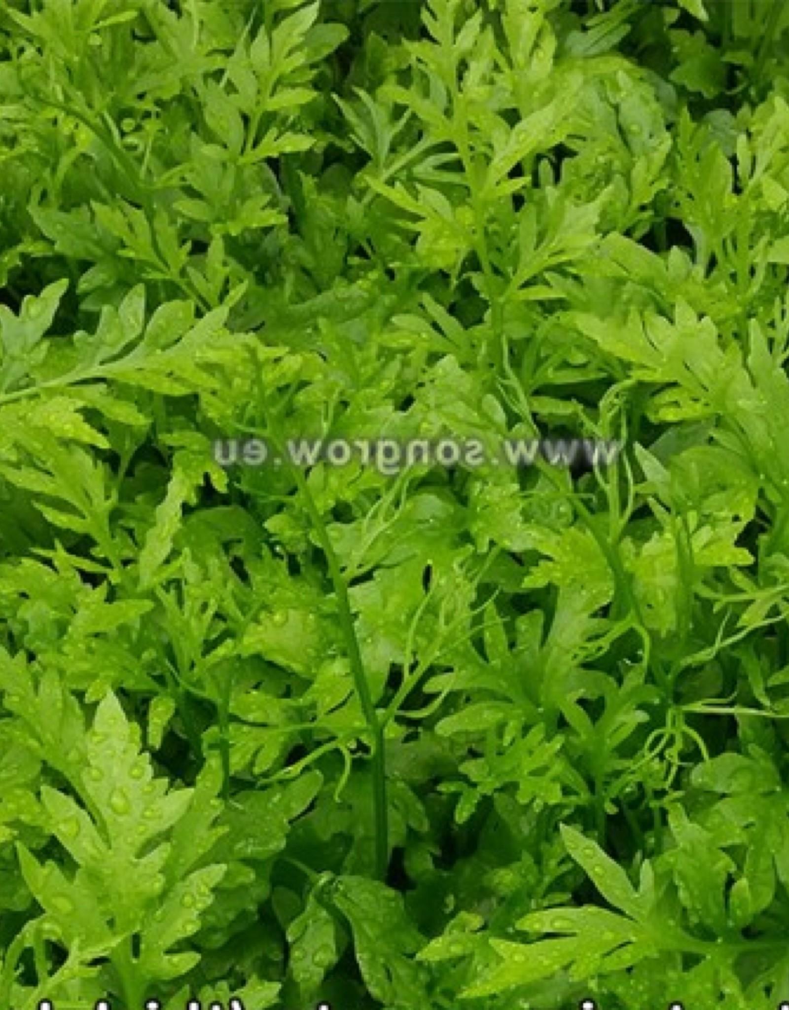 Bubba's Plants Ceratopteris cornuta (grosses feuilles)