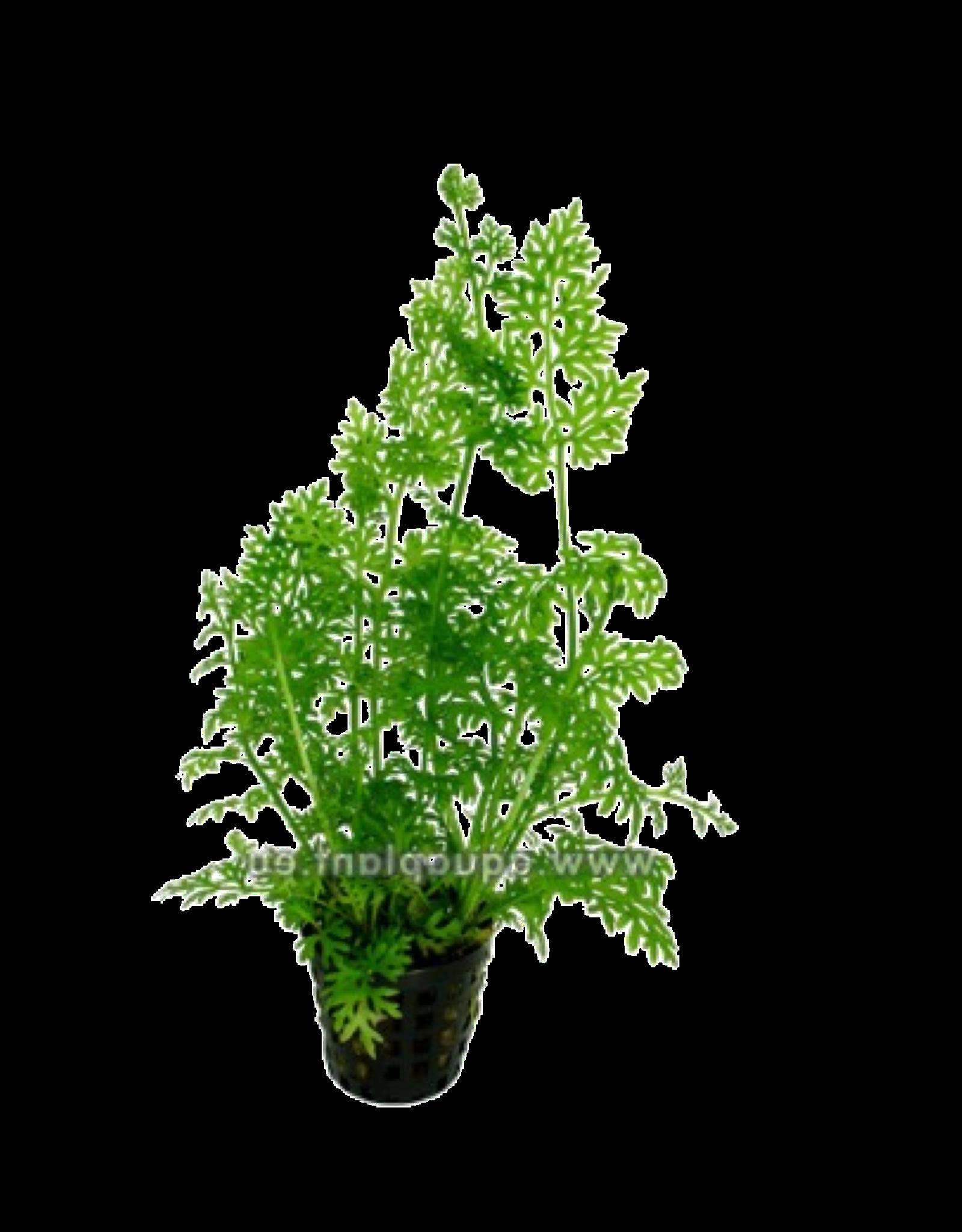 Bubba's Plants Ceratopteris thalictroides