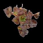 Bubba's Plants Chataigne d'eau - Trapa Natans