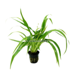 Bubba's Plants Chlorophytum bichetii
