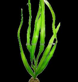 Bubba's Plants Crinum thaianum