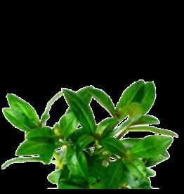 Bubba's Plants Nesaea crassicaulis