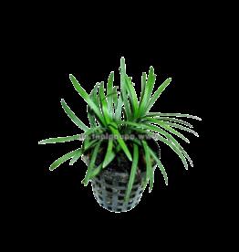Bubba's Plants Ophiopogon kyoto
