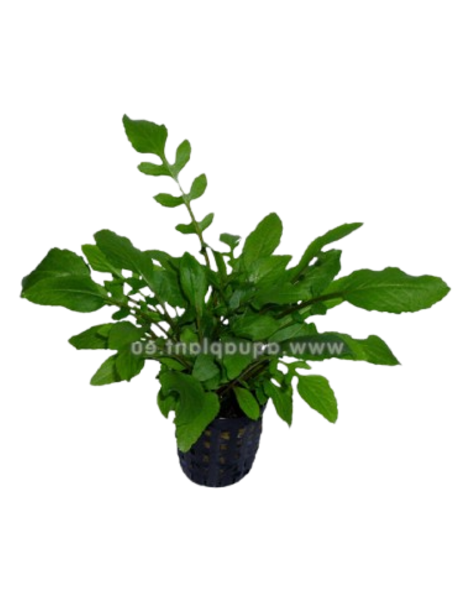 Bubba's Plants Cresson d'Amerique - Rorippa aquatica (Armoracia)