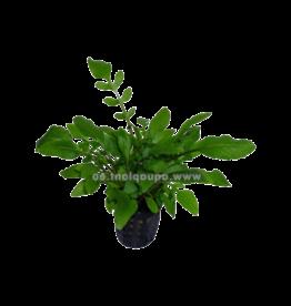 Bubba's Plants Rorippa aquatica (Syn: Armoracia aquatica)