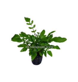Bubba's Plants American Watercress - Rorippa aquatica)