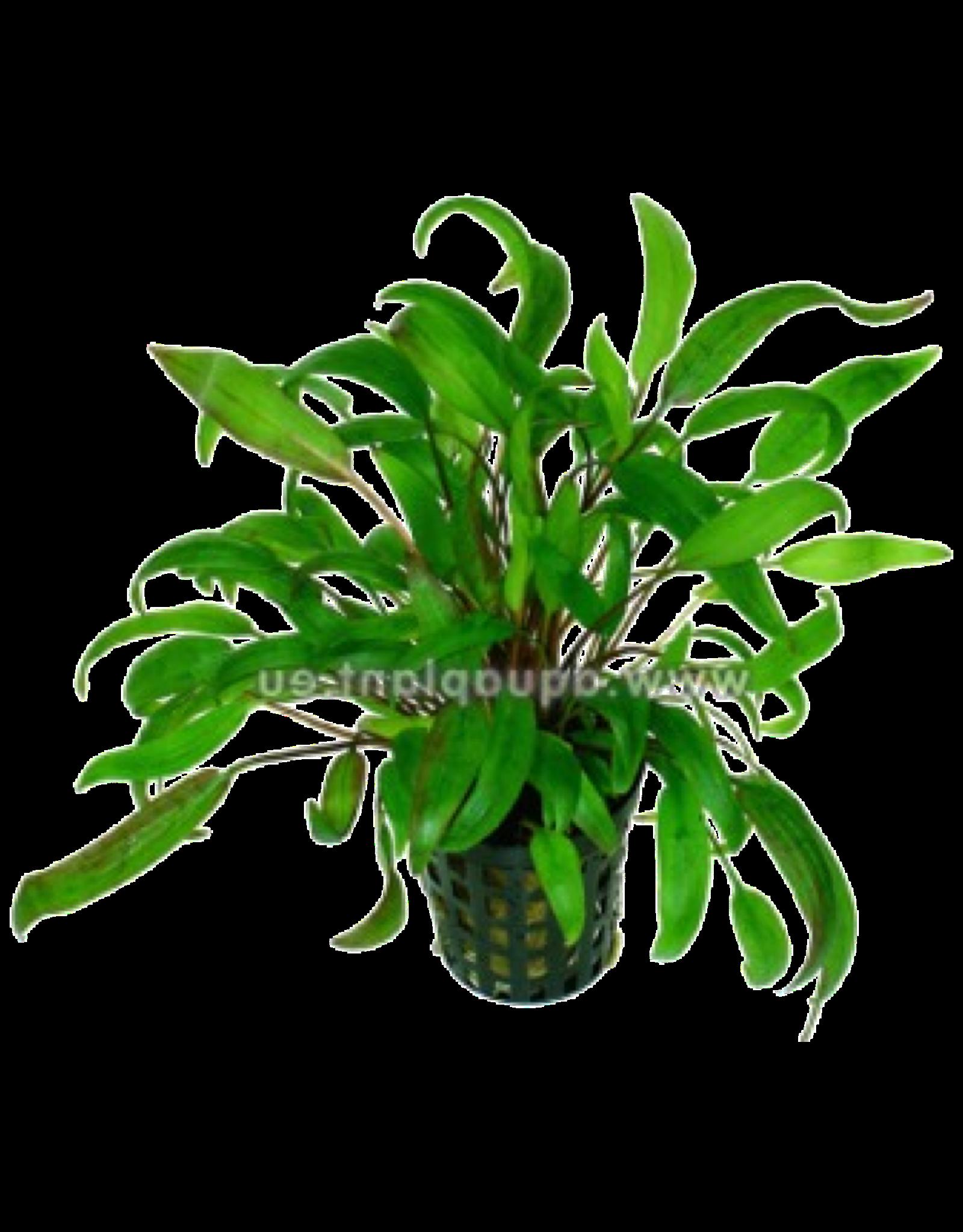 Bubba's Plants Cryptocoryne wendtii