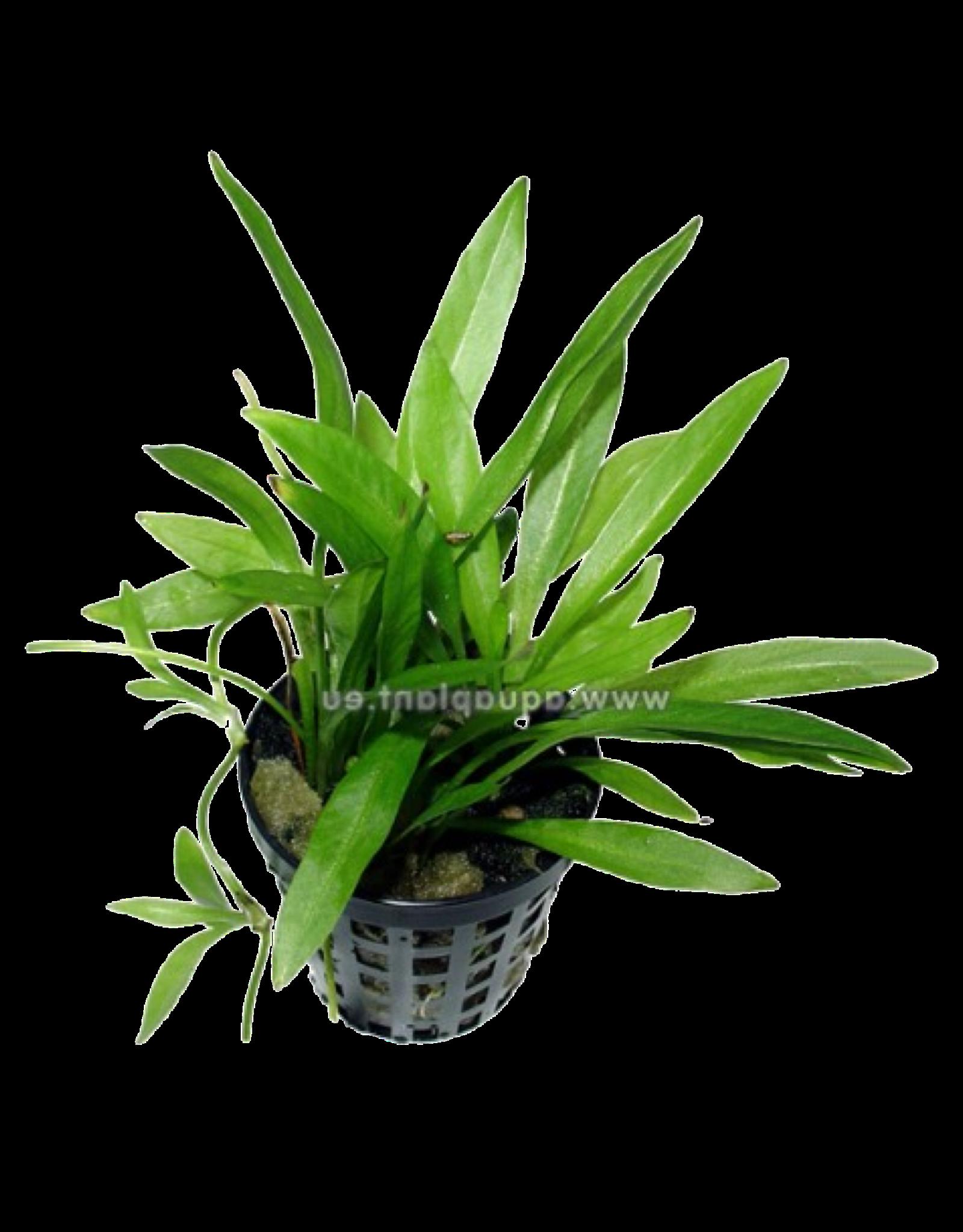 Bubba's Plants Echinodorus magdalensis (Syn: Helianthum bolivianum Quadricostatus)
