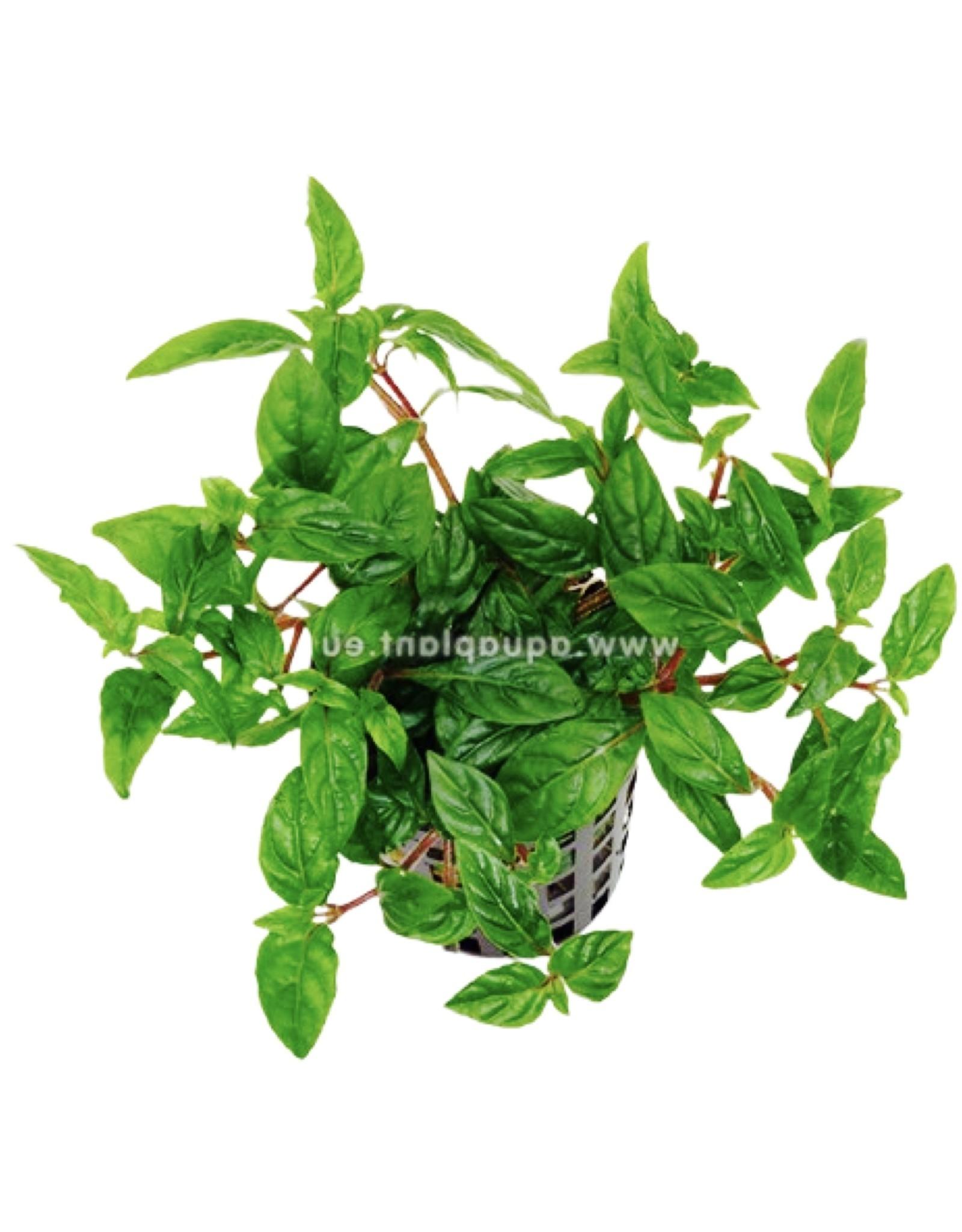 Bubba's Plants Staurogyne sp. porto velho