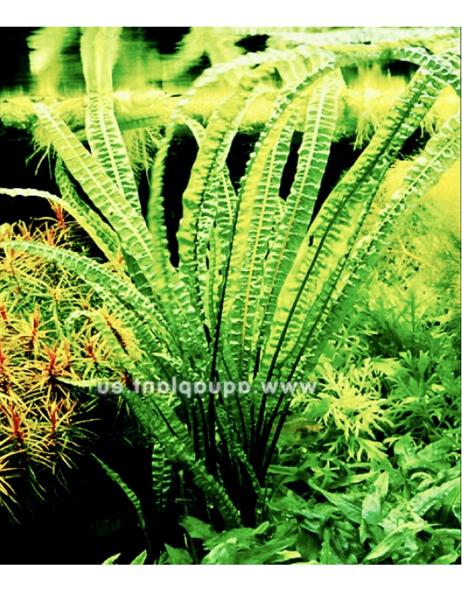 Bubba's Plants Cryptocoryne balansae