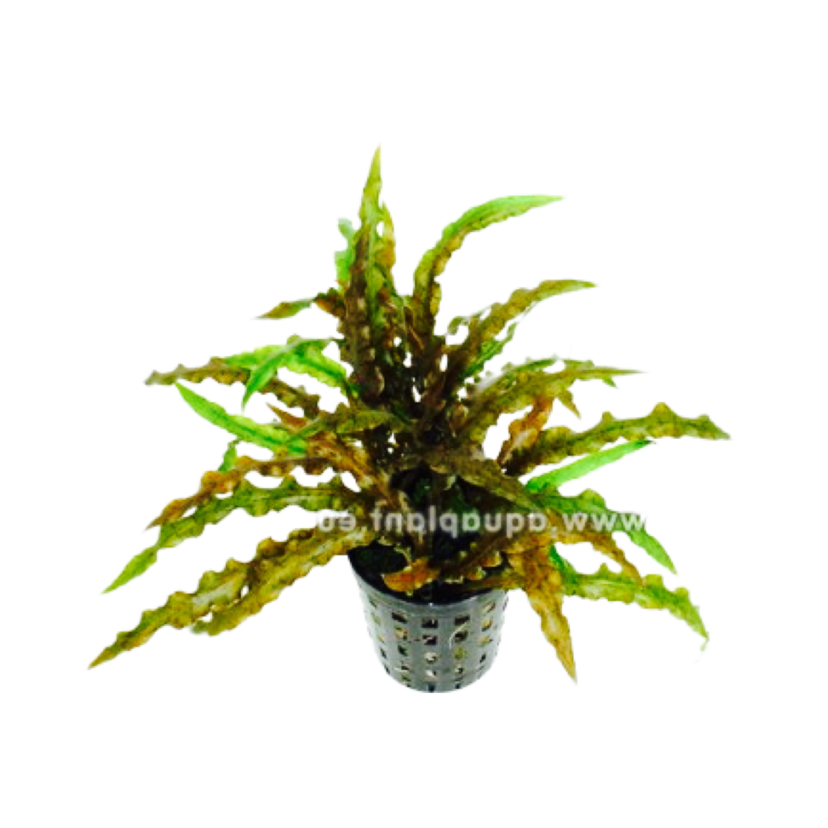 Bubba's Plants Cryptocoryne costata