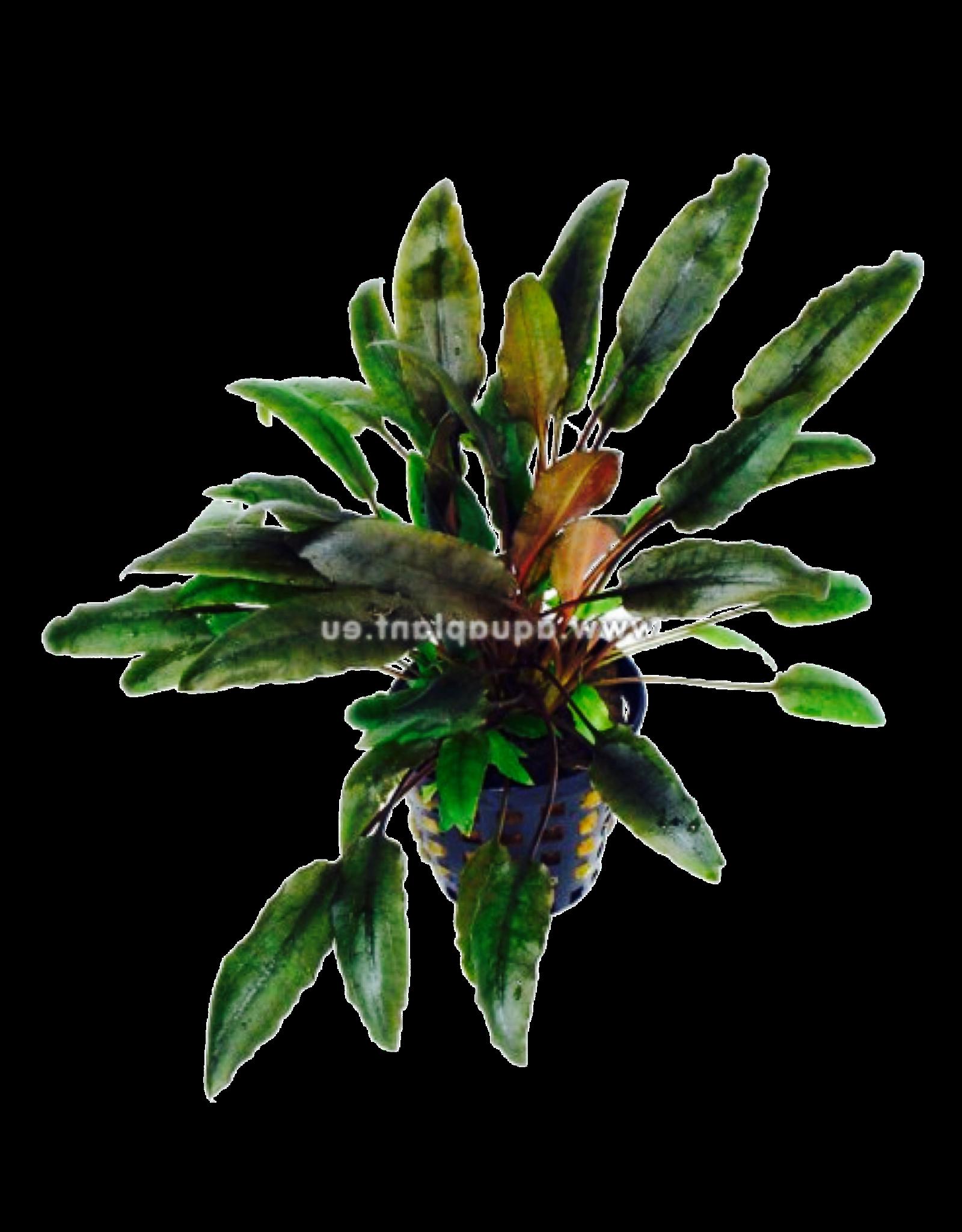 Bubba's Plants Cryptocoryne indonesii