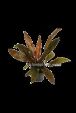 Bubba's Plants Cryptocoryne legroi