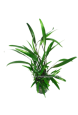 Bubba's Plants Cryptocoryne lucens