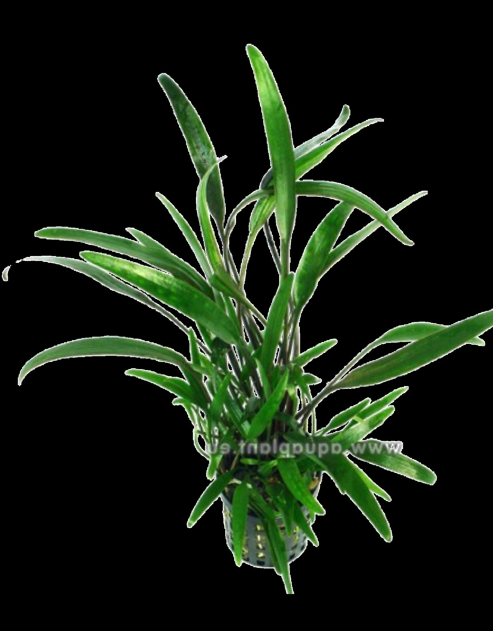Bubba's Plants Cryptocoryne lucens