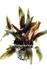 Bubba's Plants Cryptocoryne moehlmannii