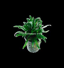 Bubba's Plants Cryptocoryne parva