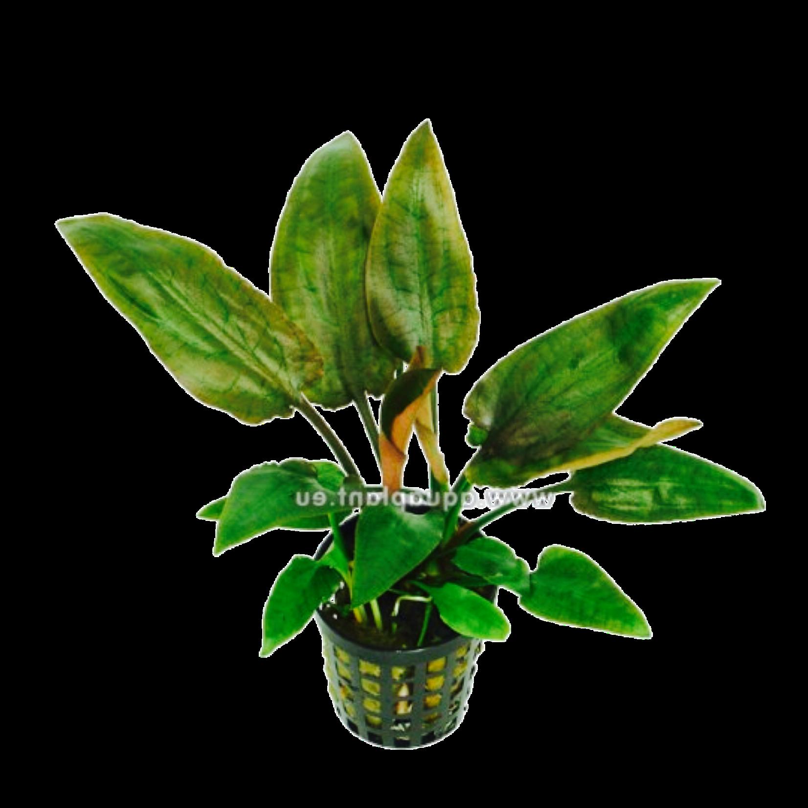 Bubba's Plants Cryptocoryne pontederifolia