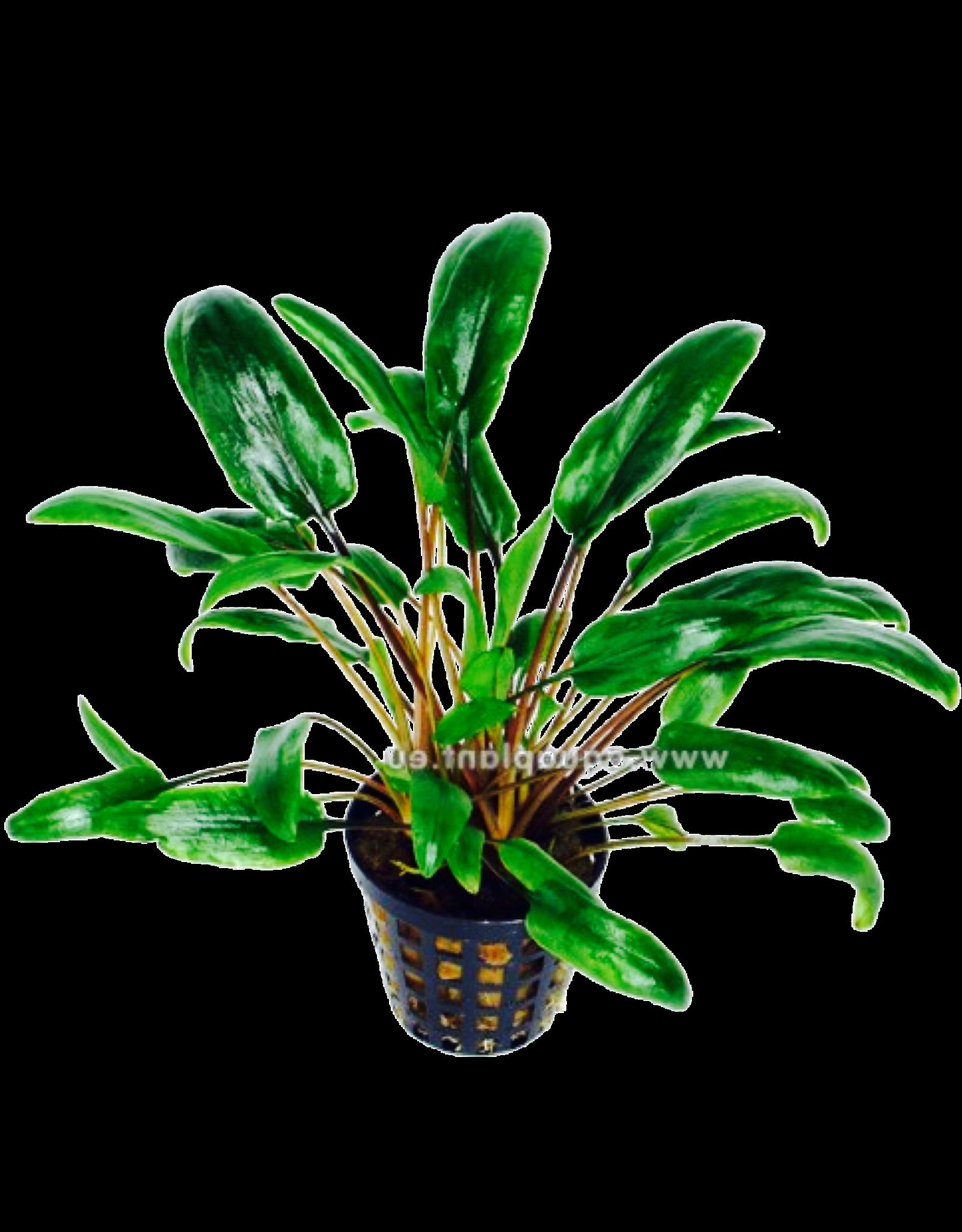 Bubba's Plants Cryptocoryne species vert