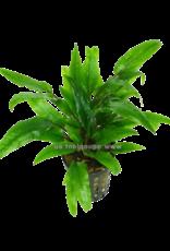 Bubba's Plants Cryptocoryne vert crisped leaf (feuille gauffrée)