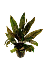 Bubba's Plants Cryptocoryne wendtii tropica