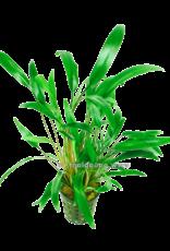 Bubba's Plants Cryptocoryne x willissii nevellii