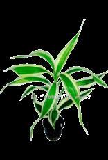 Bubba's Plants Dracaena sanderiana blanc/vert