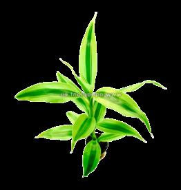 Bubba's Plants Dracaena sanderiana jaune/vert