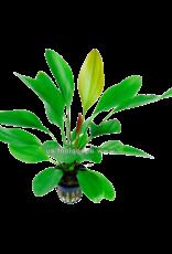 Bubba's Plants Echinodorus barthii