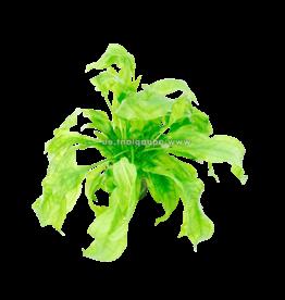 Bubba's Plants Echinodorus bleheri (Syn: E. grisebachii Bleherae) Pied mère