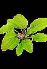 Bubba's Plants Echinodorus Devils Eye