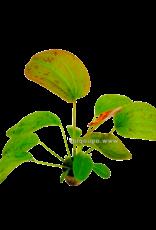 Bubba's Plants Echinodorus Felix