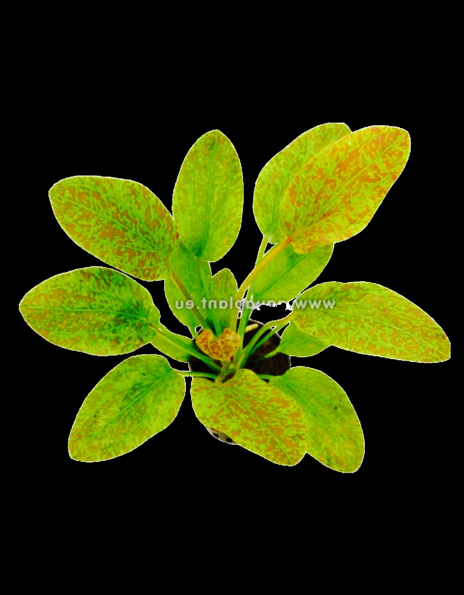 Bubba's Plants Echinodorus Green Flame
