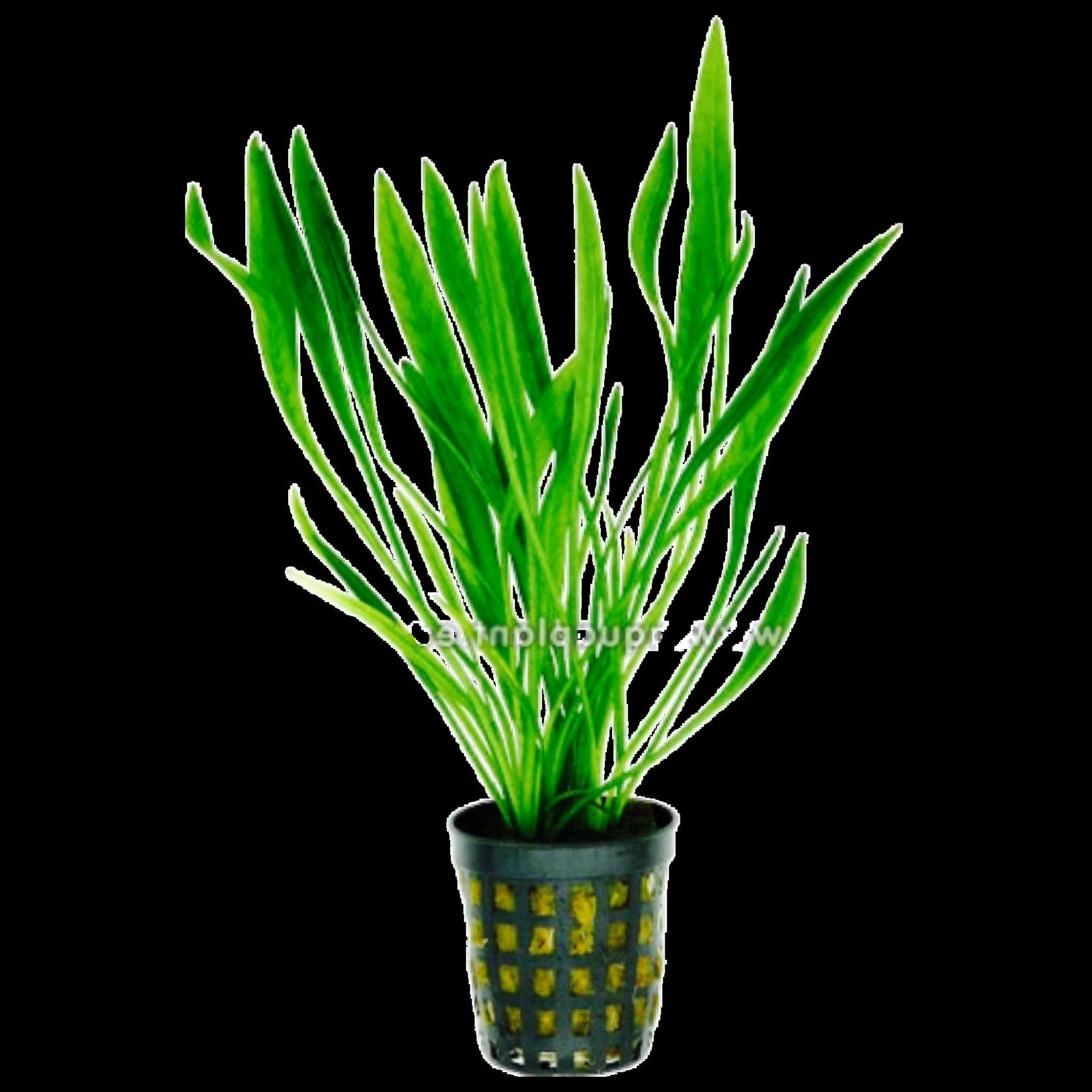 Bubba's Plants Echinodorus latifolius - Xingu