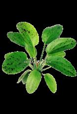Bubba's Plants Echinodorus ozelot vert «léopard»