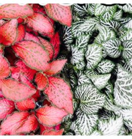 Bubba's Plants Fittonia rouge
