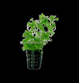 Bubba's Plants Hydrocotyle tripartita (sp. Japan)
