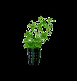 Bubba's Plants Hydrocotyle tripartita (sp.Japan)