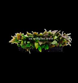 Bubba's Plants Hygrophila corymbosa (Strip)