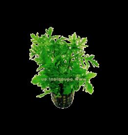 Bubba's Plants Hygrophila difformis