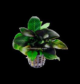 Bubba's Plants Hygrophila dwarf (naine)