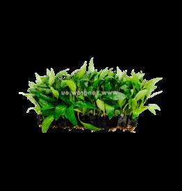 Bubba's Plants Hygrophila siamensis (Strip)
