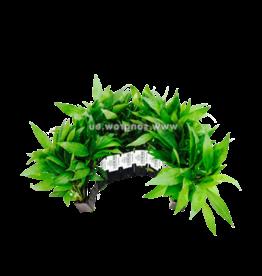 Bubba's Plants Hygrophila stricta tai (Strip)