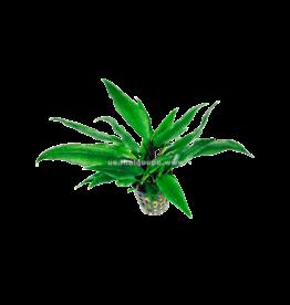 Bubba's Plants Lagenandra thwaitesii