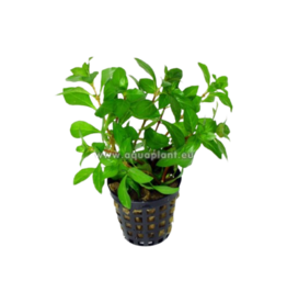 Bubba's Plants Ludwigia repens