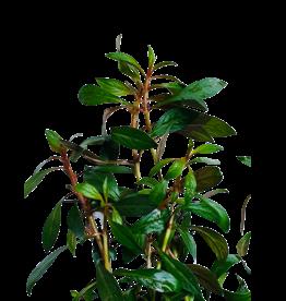 Bubba's Plants Ludwigia repens Rubin (Strip)