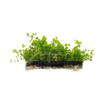 Bubba's Plants Lysimachia aurea (Strip)